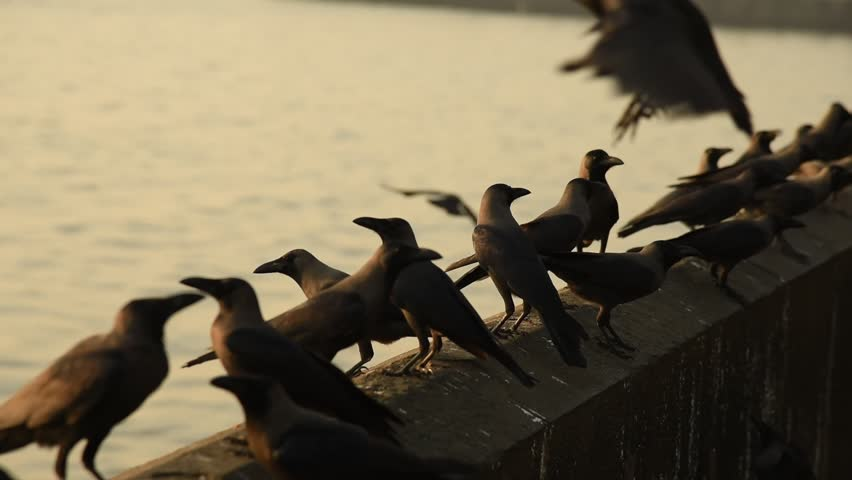 Group of Crows on wall - HD stock video clip