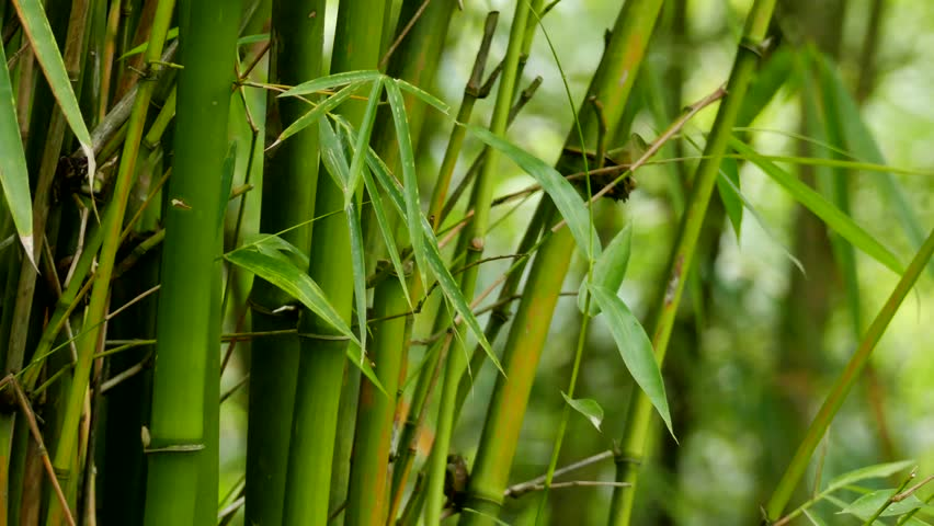 Bamboo Definition Meaning