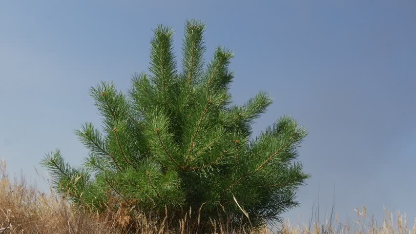 Young Small Pine, Evergreen Tree is Swaying a Little at the Wind among dry grass on a field, Green Needle-Like Tree Leaves are Fluttering on a Crown, Thin Trunk Tree in Sunny Day in Summer or fall, #13349879
