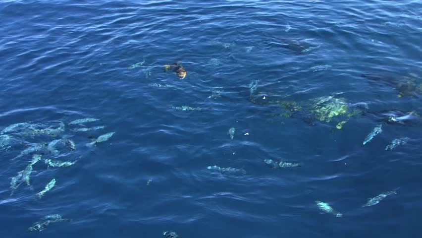 Blue tropical fish - HD stock video clip