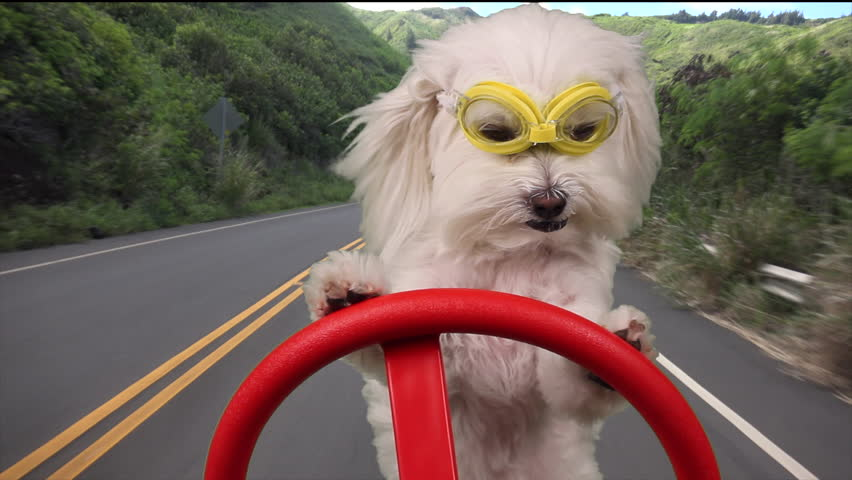 Dog Driving, Adorable dog on vacation wears goggles, drives on road that cuts through lush, tropical island vegetation. 1080p