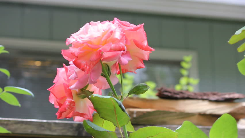 Group of pink roses with rain falling - HD stock video clip