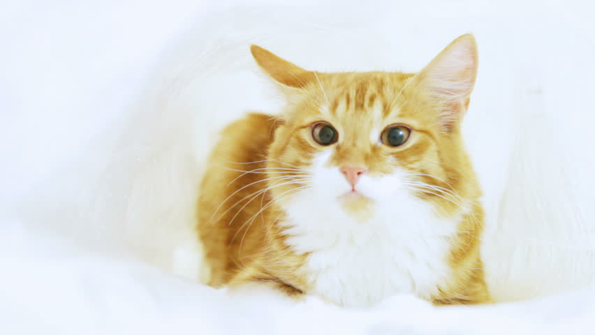 Funny ginger cat looking - HD stock video clip