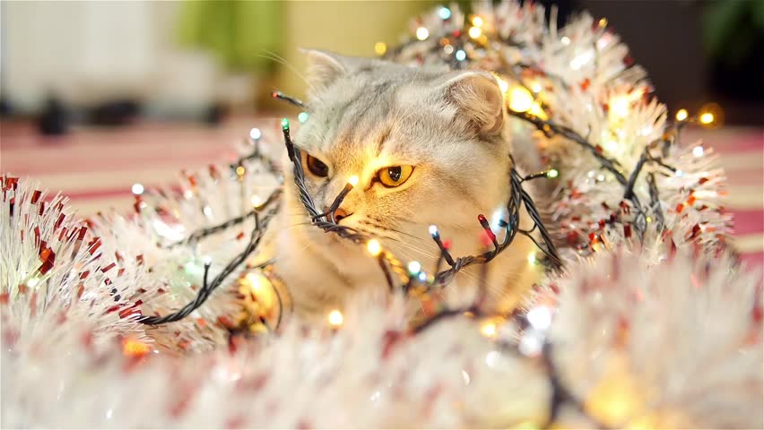 Scottish fold cat with christmas garland and tinsel 2 | Shutterstock HD Video #13598162