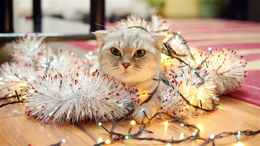 Scottish fold cat with christmas garland and tinsel 3 | Shutterstock HD Video #13598171