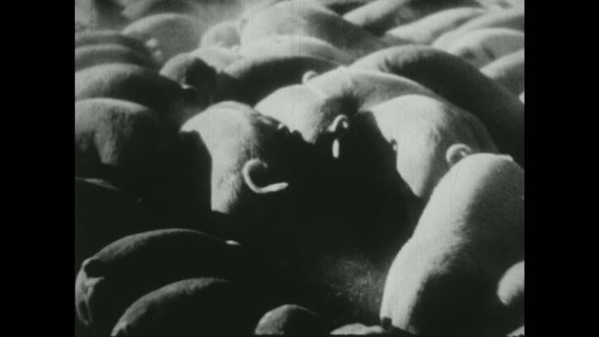 UNITED STATES 1940s : Pigs in a Pen | Shutterstock HD Video #13663259