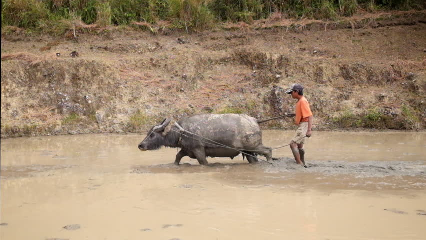 MALIGCONG, PHILIPPINES - JAN 31, 2015: Unidentified farmer plowing rice paddy using asian buffalo. Traditional village life near rice terraces in Ifugao mountain province. Philippines UNESCO heritage