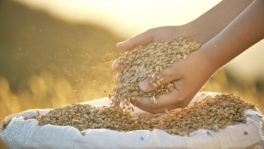 Young child hands grab pour golden wheat grains bag backlit sunlight slow motion