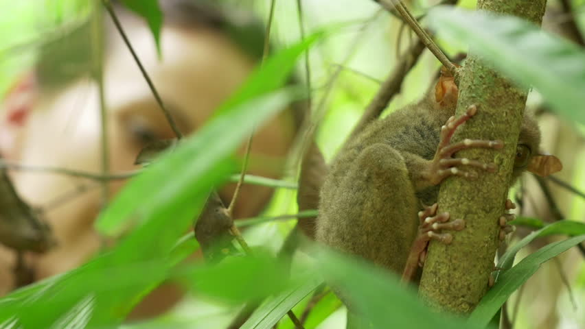 Scared endangered species Tarsier hiding behind a branch, rack focus on a tourist girl watching it in it's natural habitat. Bohol, Philippines