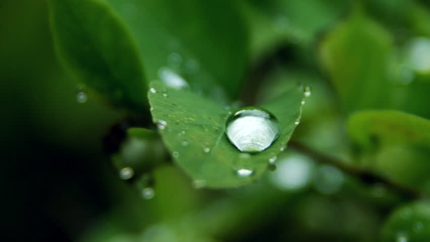 CU R/F Shot of water drops in leaves / Fraser River, British Columbia, Canada - British Columbia, Canada, March, 2015
