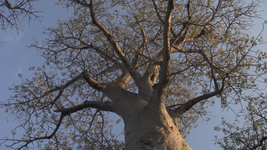 a description of wisdom as a baobab tree Wisdom is like a baobab tree no one individual can embrace it  size and  girth of the baobab tree to describe the vastness of knowledge.