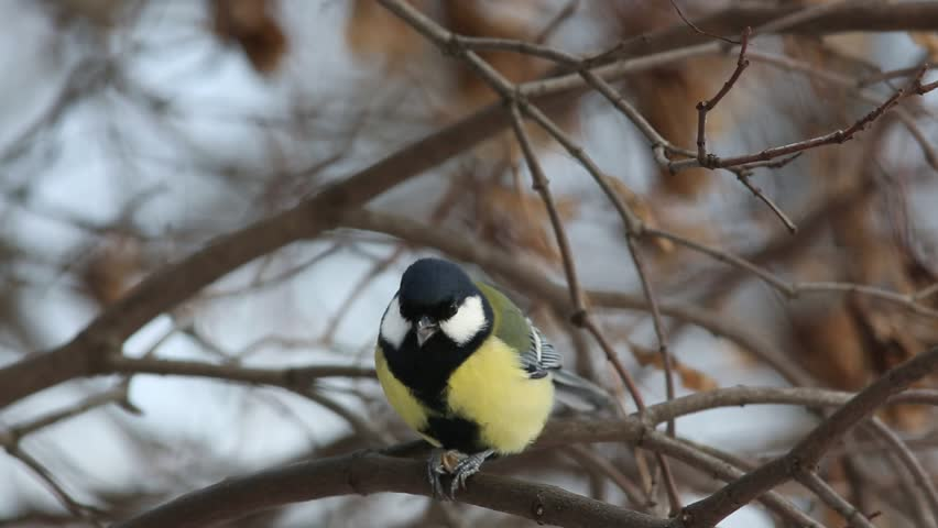 Great Tit  (Parus major) pecks seed while sitting on a branch (1080p,no inter-frame compression) | Shutterstock HD Video #13949459