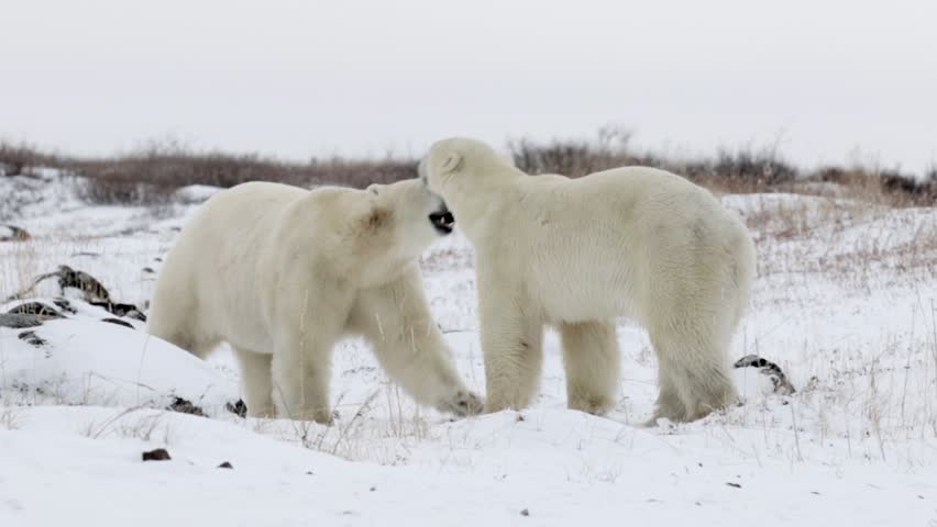 Polar bears walking and playing in the snow Beautiful pan shot of 2 Polar bears walking and playing in the snow