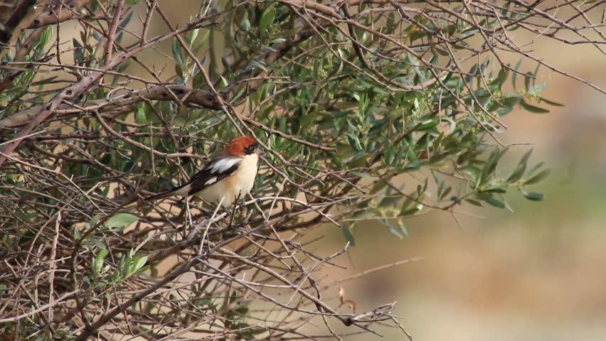 Header of Woodchat Shrike