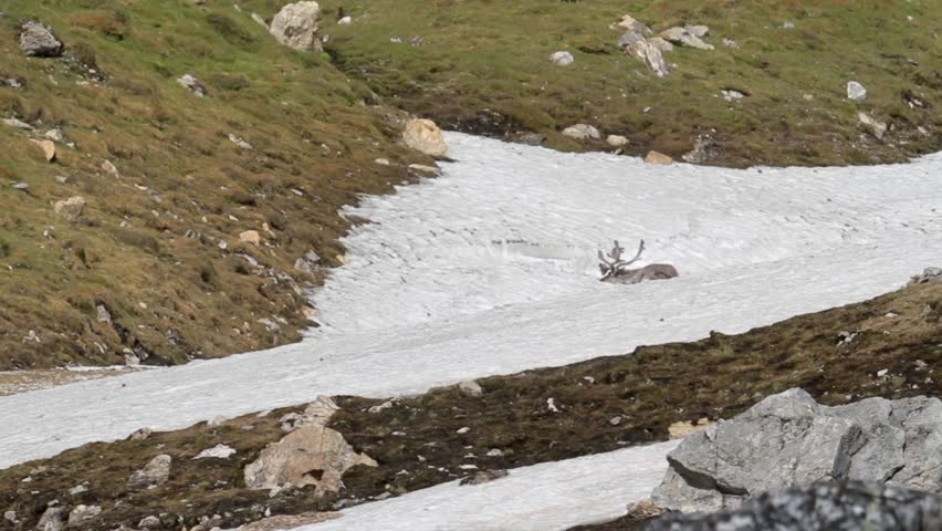 Reindeer in the snow Reindeer in the snow of Spitsbergen Norway  - HD stock footage clip