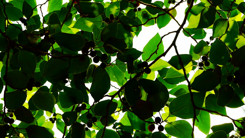 The dense branches foliage covered sky,sunlight through leaves. gh2_02377 #14056298