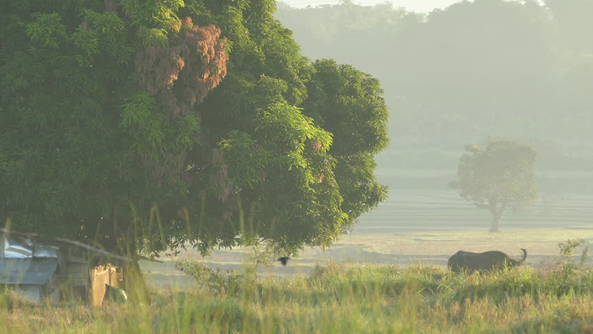 Morning farmland landscape with a water buffalo in the Philippines