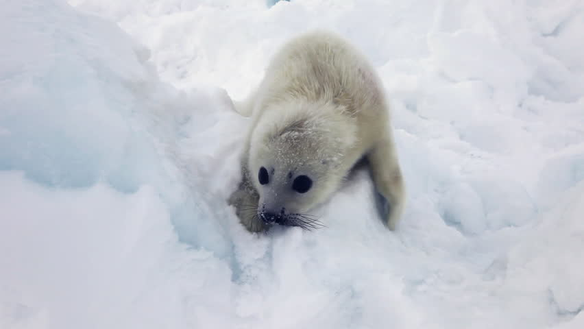 related pictures seal arctic - photo #6