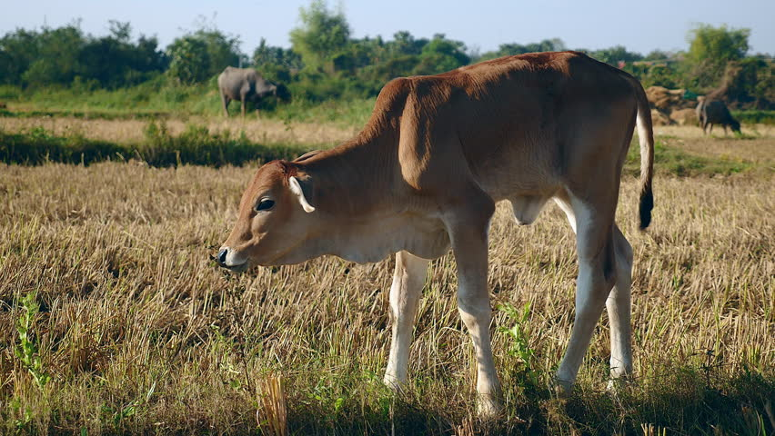 Brown calf and water buffaloes in the background grazing in a field - 4K stock footage clip