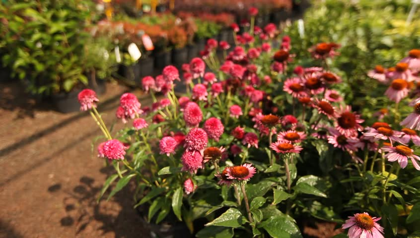 The plant nursery, plant nursery, growing flowers, growing plants, saplings, small trees, small shrubs, agronomy, agribusiness, Garden center, Echinacea