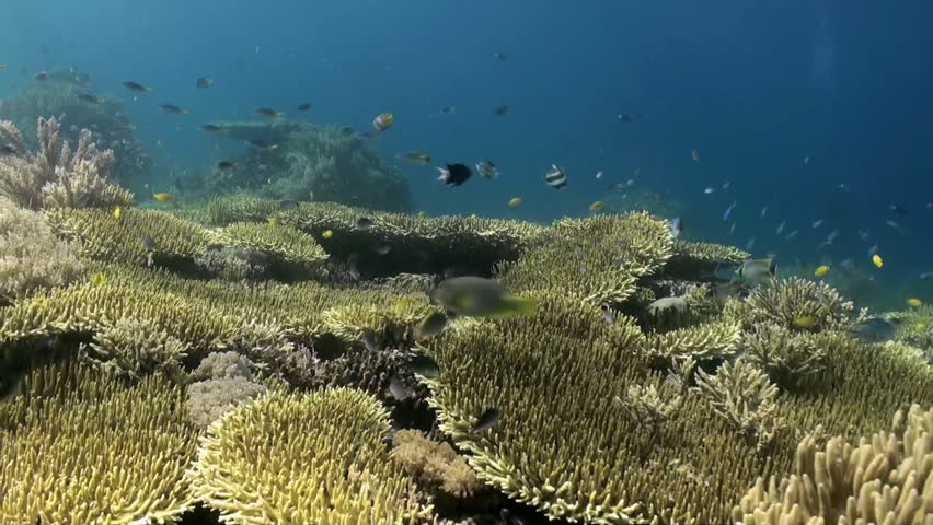 Underwater Hard corals on sea ocean. School fish. Amazing, beautiful underwater world Bali Indonesia and  life of its inhabitants, creatures and diving, travels with them. Wonderful experience in sea | Shutterstock HD Video #14209622