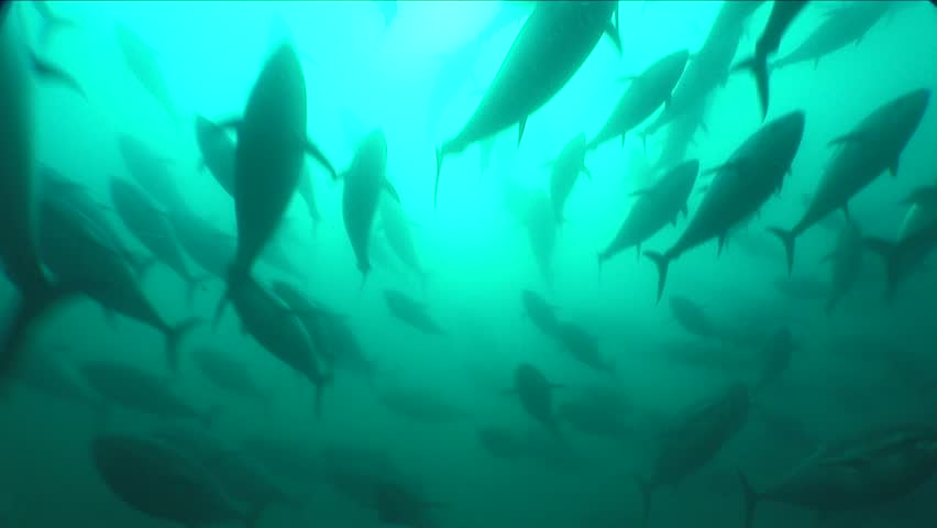 Feeding frenzy of farmed bluefin tuna stock footage video for Feed and grow fish free no download