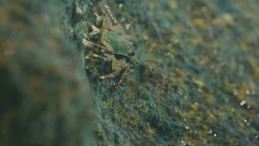 Crab on the rock at the beach, rolling waves, close-up, slow motion - HD stock video clip