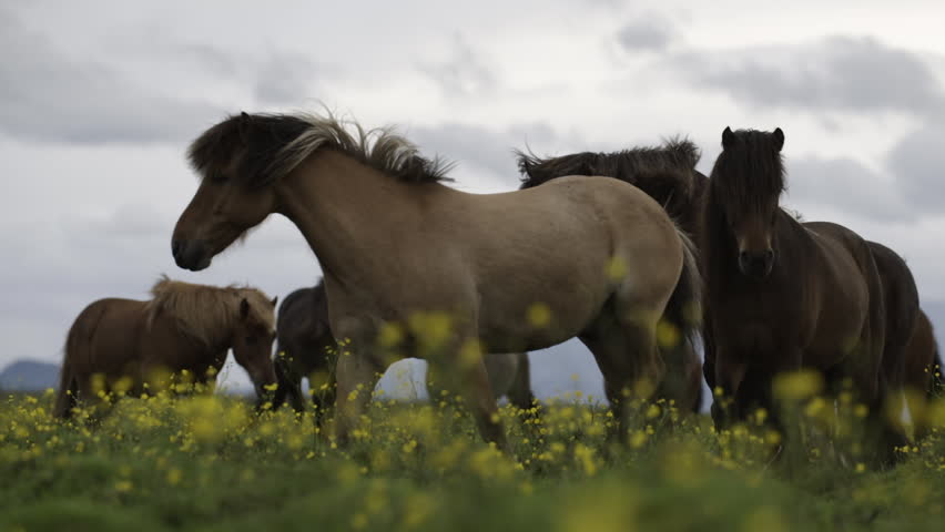 MS SLO MO SELECTIVE FOCUS Brown horses grazing in meadow / Skogar, Iceland - 07/10/2014 | Shutterstock HD Video #14245901