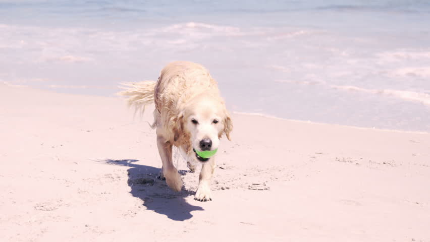 Wet dog at the beach with ball in mouth | Shutterstock HD Video #14261336