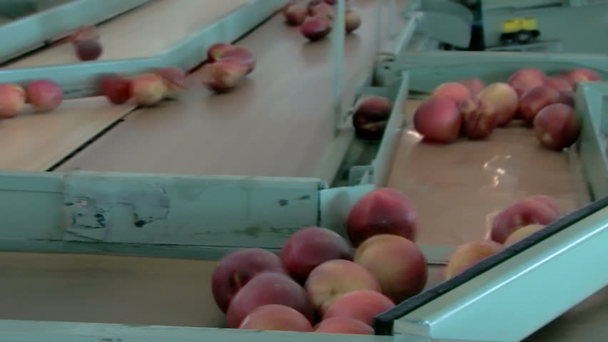 Processing peaches in a packing plant on conveyor belt - HD stock video clip