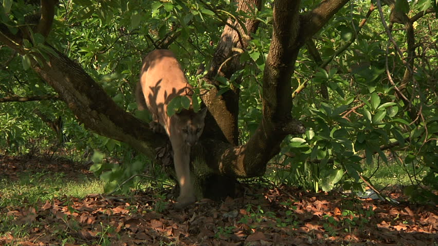 Florida panther climbs over tree branch, looks around - HD stock footage clip