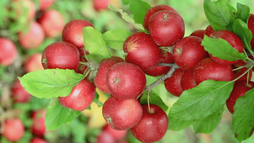 Red apples on tree.