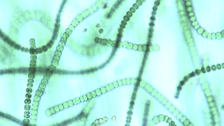 Image result for microscopic blue green algae