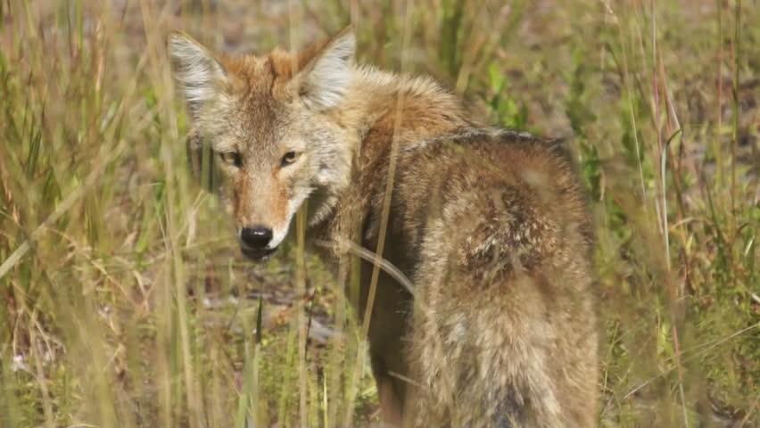 Coyote hunting in Georgia