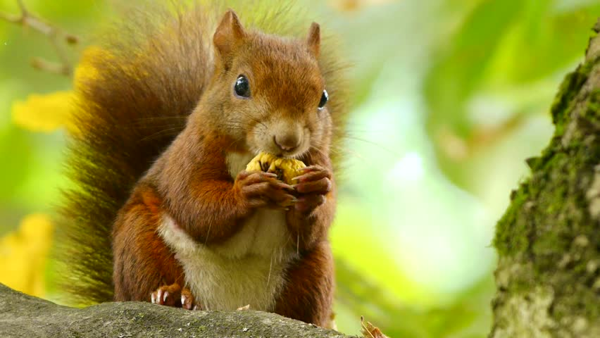 Red Squirrel at the Chestnut, Close Portrait - HD stock footage clip