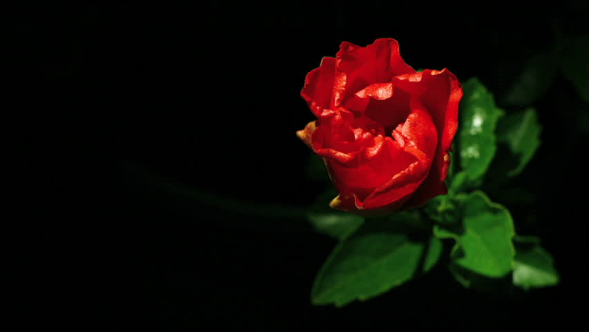 A red flower opens. - HD stock footage clip