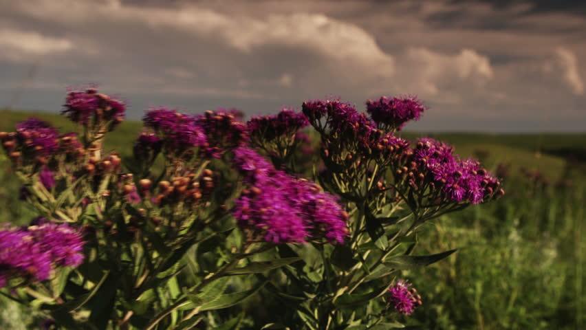 Yellow Coneflower in an Iowan prairie - HD stock video clip