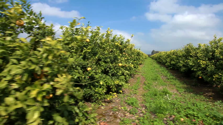 Drive by shooting of a lemon orchard in a fertile valley in Israel.