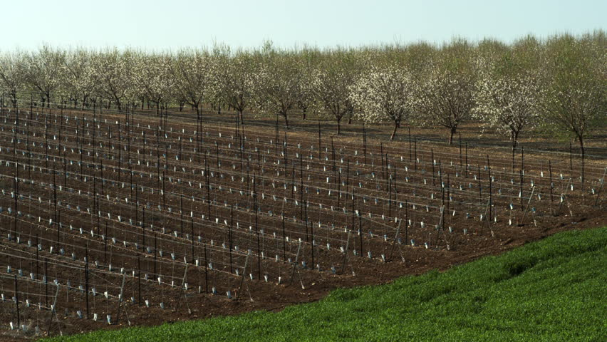 A sapling orchard, and an Almond orchard bursting with pink and peal blossoms.  There is is also a lush green field in the foreground,  in the Mount Tabor region of Israel. 02/23/2011