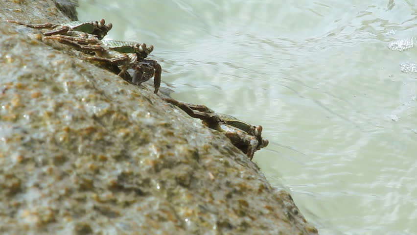 crabs on the stone - HD stock footage clip