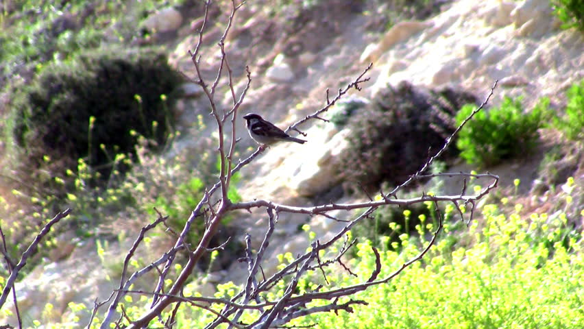 wild sparrow standing at the Cypress wing - HD stock video clip