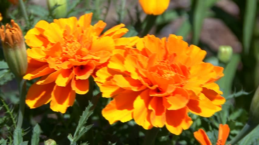 A warm radiant orange marigold in a flower garden on a sunny summers day - HD stock video clip