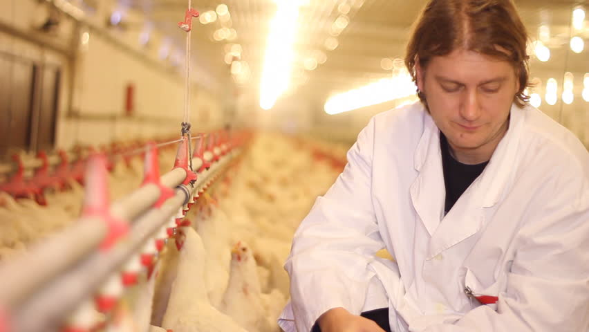 Veterinarian working on chicken farm - HD stock video clip