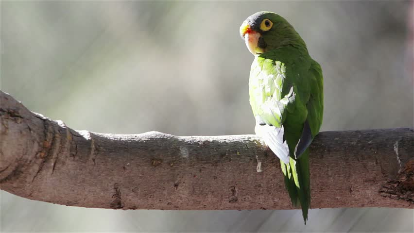 Green Parrot | Shutterstock HD Video #1813283