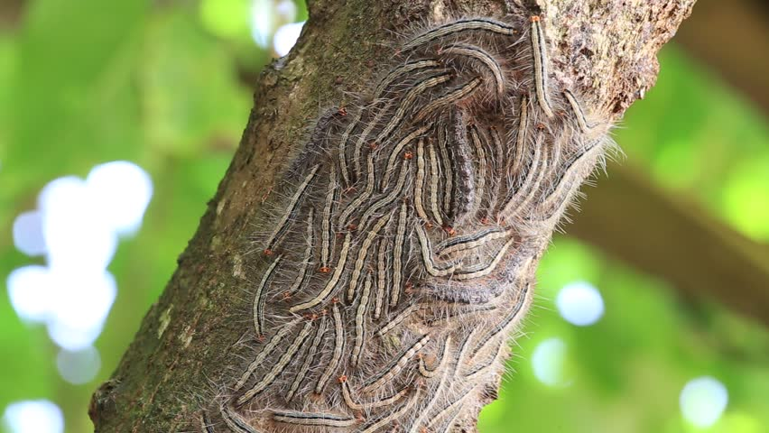 how to kill tent worms in a tree