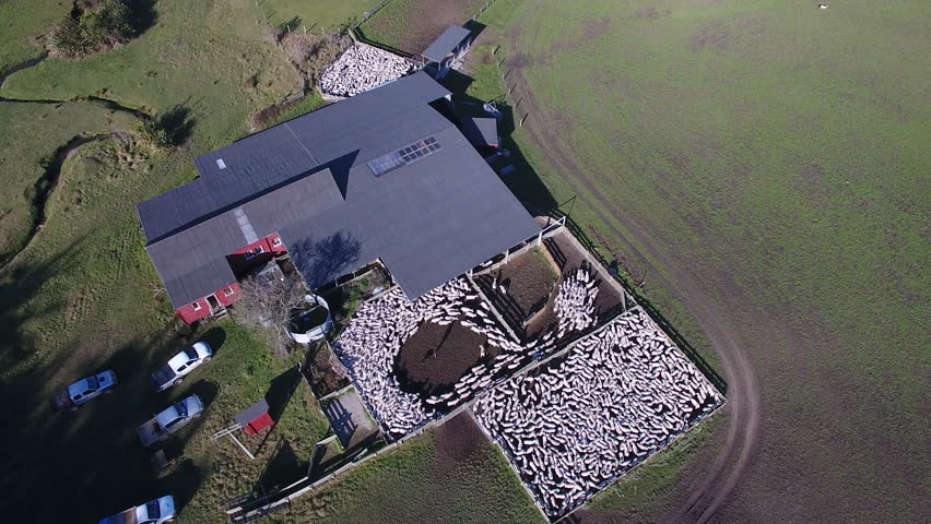 Flock of sheep in shearing shed aerial view | Shutterstock HD Video #18517787