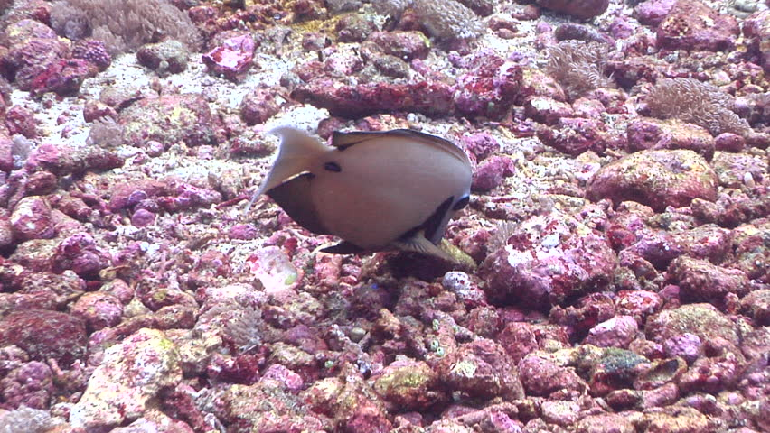 Header of Acanthurus tristis