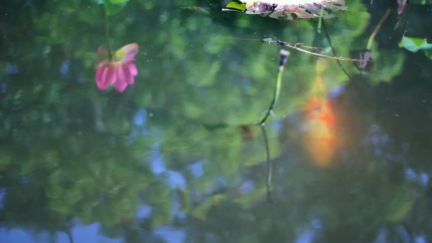 Koi fish in lotus pond 01 stock footage video 1876417 for Koi fish to pond ratio