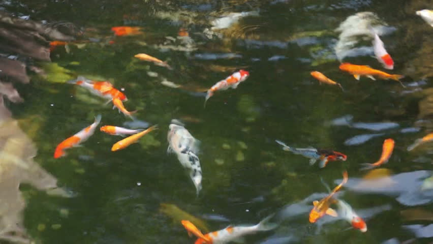 Japanese koi swimming in pond for zen concept stock for Koi fish to pond ratio