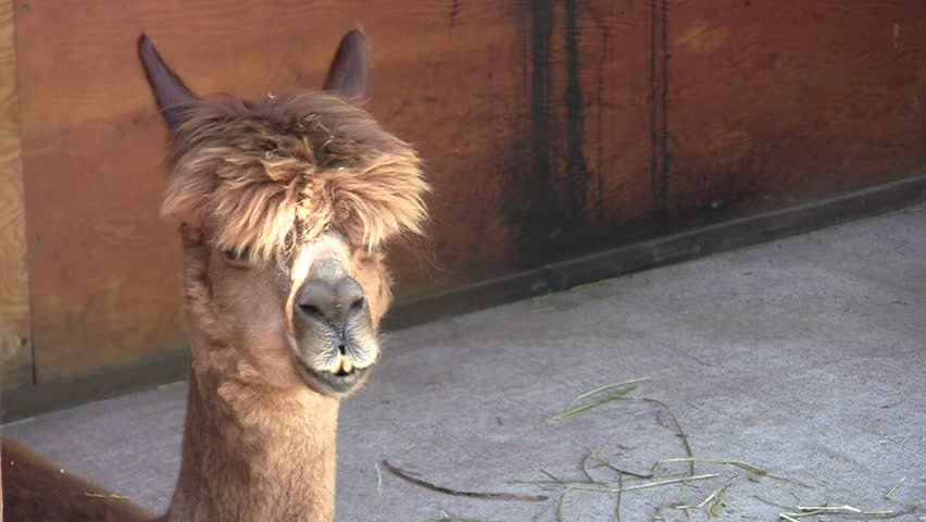 Close-up of cute adolescent alpaca chewing, with space on right for text or graphics. Turns to profile halfway through clip. - HD stock footage clip